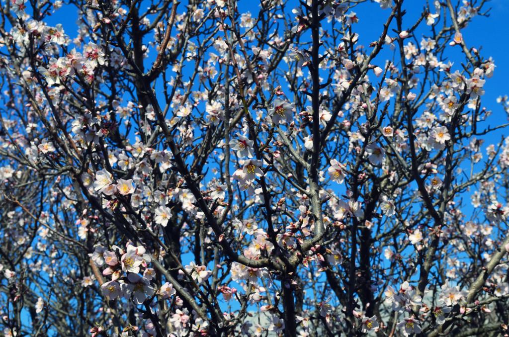 Almond glory